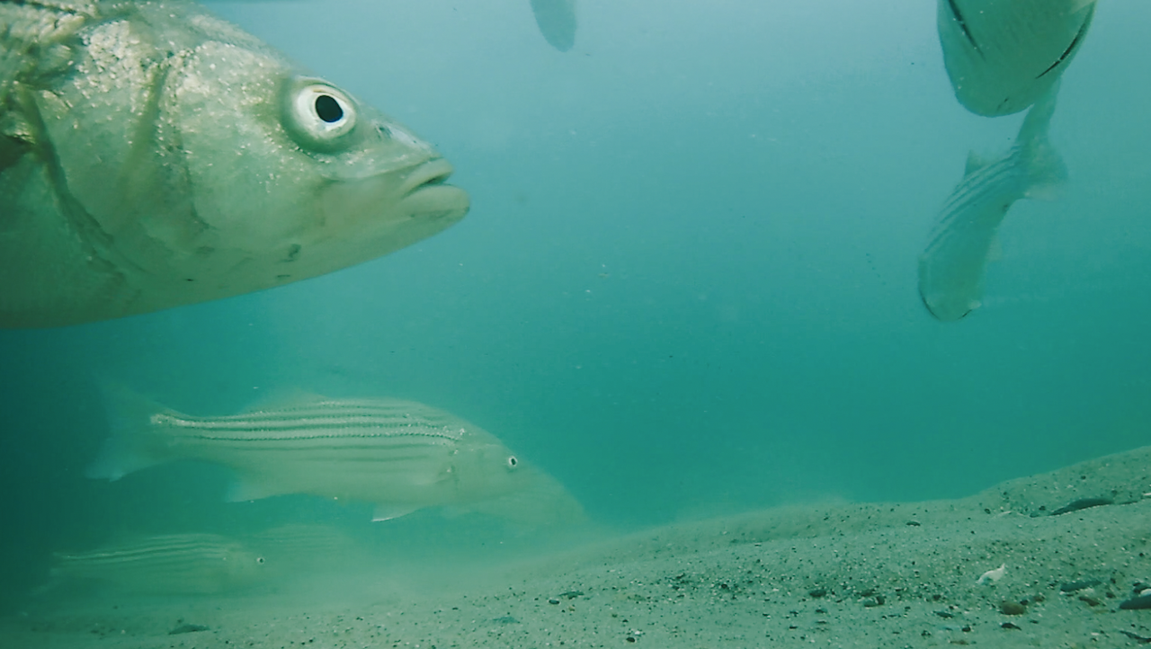 breathtaking underwater striped bass fishing and drone footage