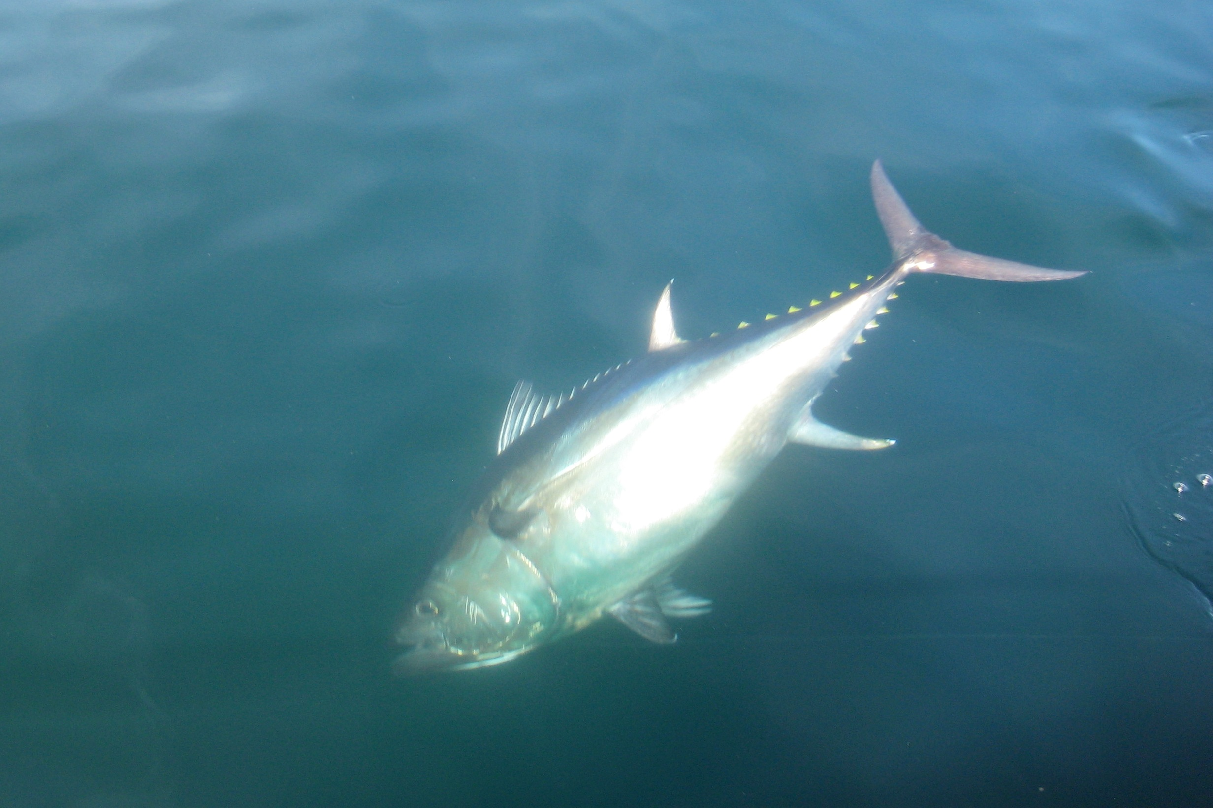 Cape cod kite fishing for giant tuna for Kite fishing for tuna