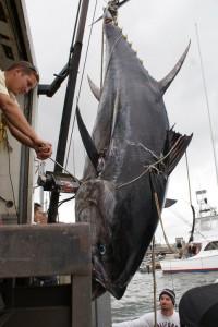 Giant Tuna