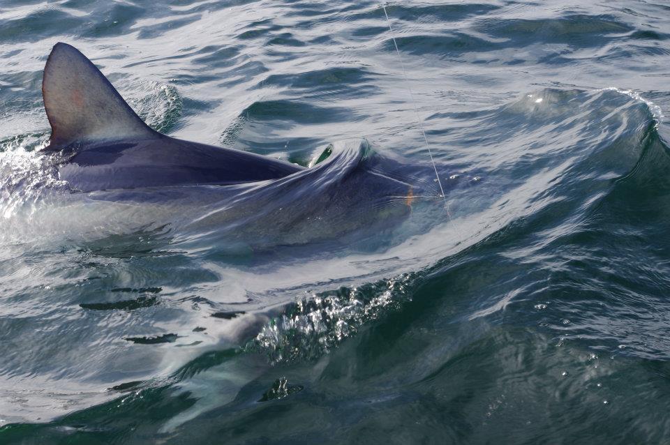 blue shark 10