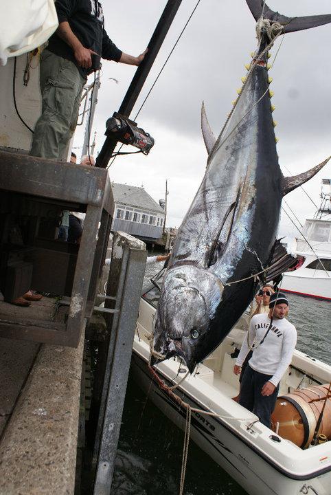 giant tuna 5