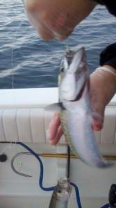 cape cod mackerel fishing