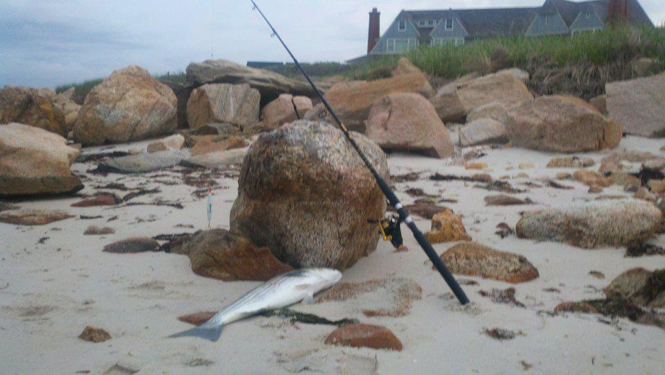 Cape cod surf fishing report for june 2 for Cape cod fishing