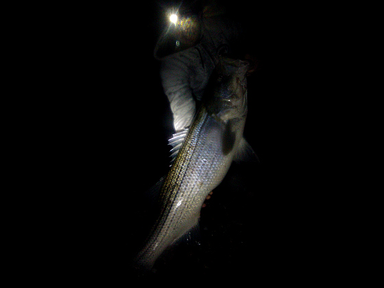 Cape cod surf fishing report page 10 for Surf fishing at night