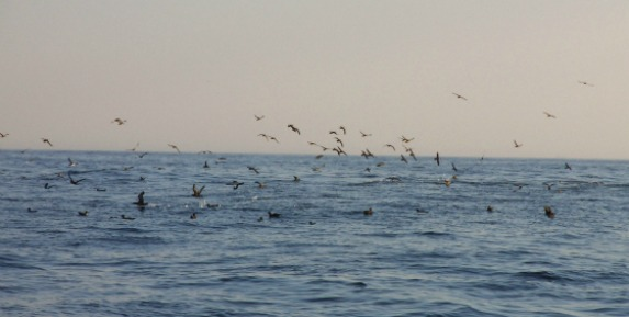 gannets 573
