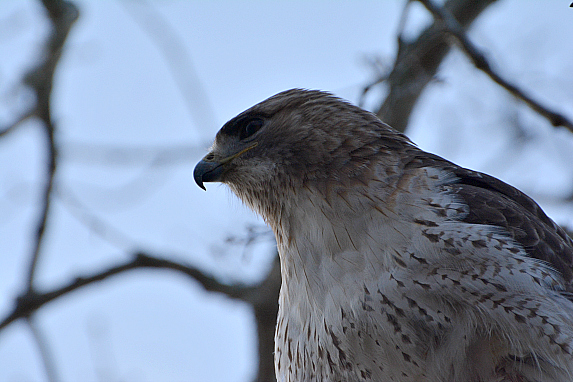 cape cod trout fishing hawk