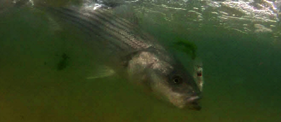 cape cod herring