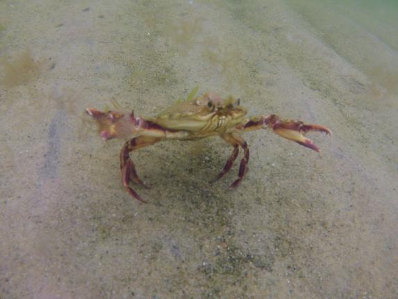 calico crab cape cod