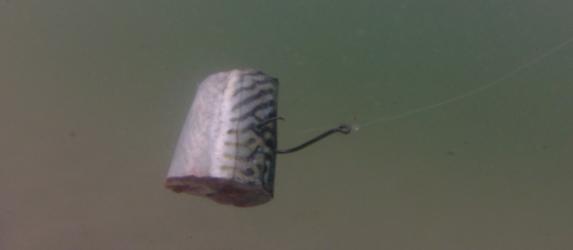 cape cod mackerel chunks striped bass fishing
