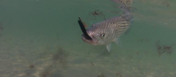 black slug go cape cod striped bass
