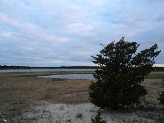 cape cod beach tree