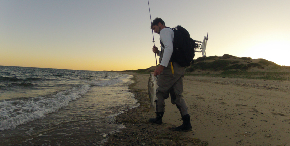 schoolie striped bass surfcasting on cape cod