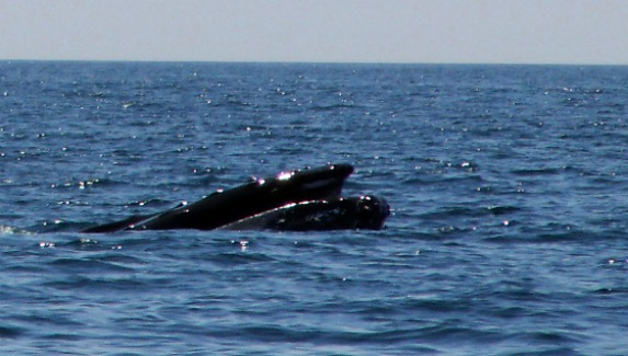 humpback whales cape cod