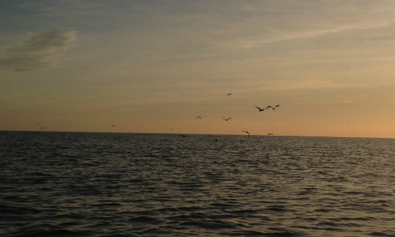 birds working over bluefish