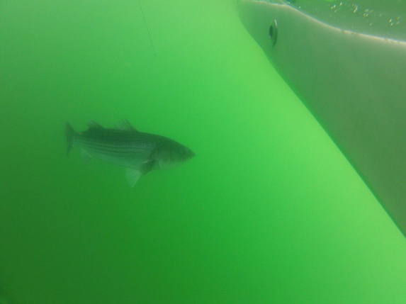 underwater striped bass cape cod