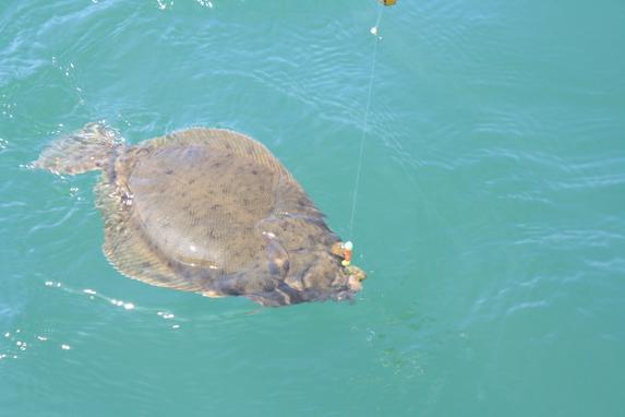 Flounder Landing fishing Boston Harbor