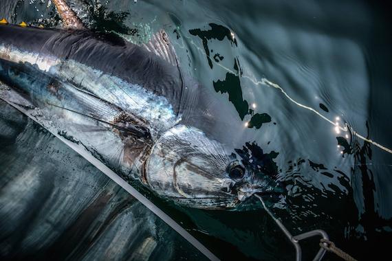 swimming giant tuna off cape cod