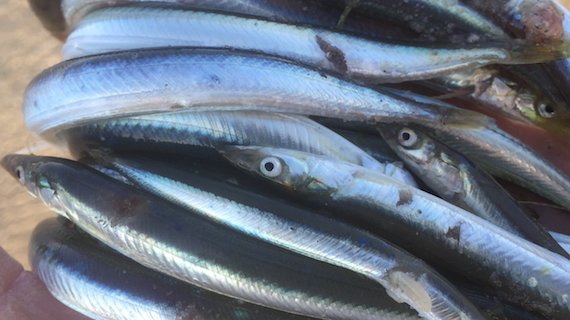 fresh sand eels for bait on cape cod