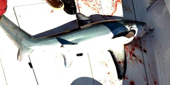 cape cod thresher shark