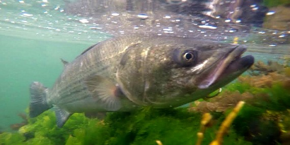 canal striped bass underwater