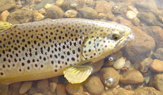 At Cliff Pond you'll find plenty of shoreline to explore and wade. You may also find a variety of fish, including brown trout such as this.