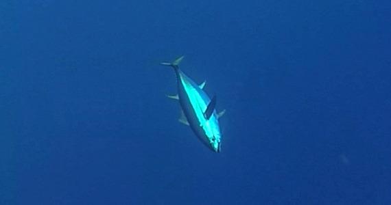 west atlantis yellowfins