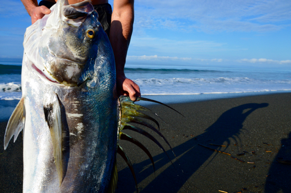 surf caught roosterfish in Costa Rica