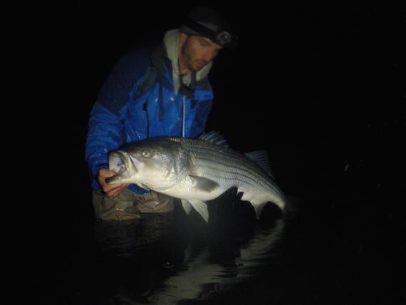 enormous holdover striper on cape cod