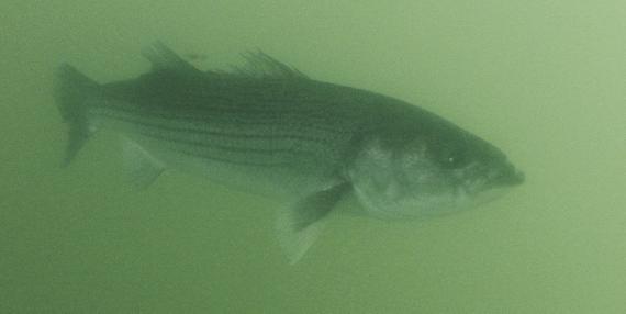 Underwater Bass (1)