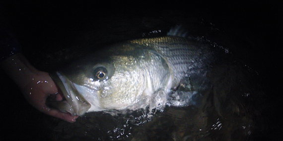 night time striped bass dark