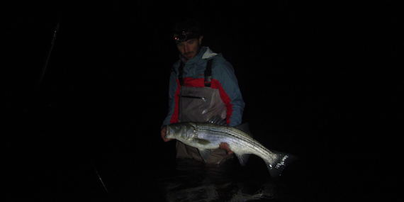 night striped bass cape cod surfcasting late september