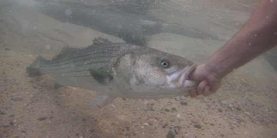 underwater striper surfcasting