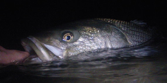 night time striped bass cape cod