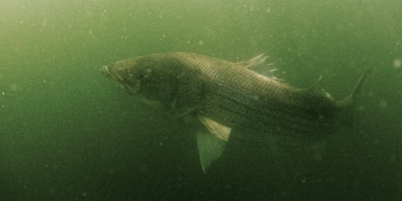 huge cape cod striper underwater