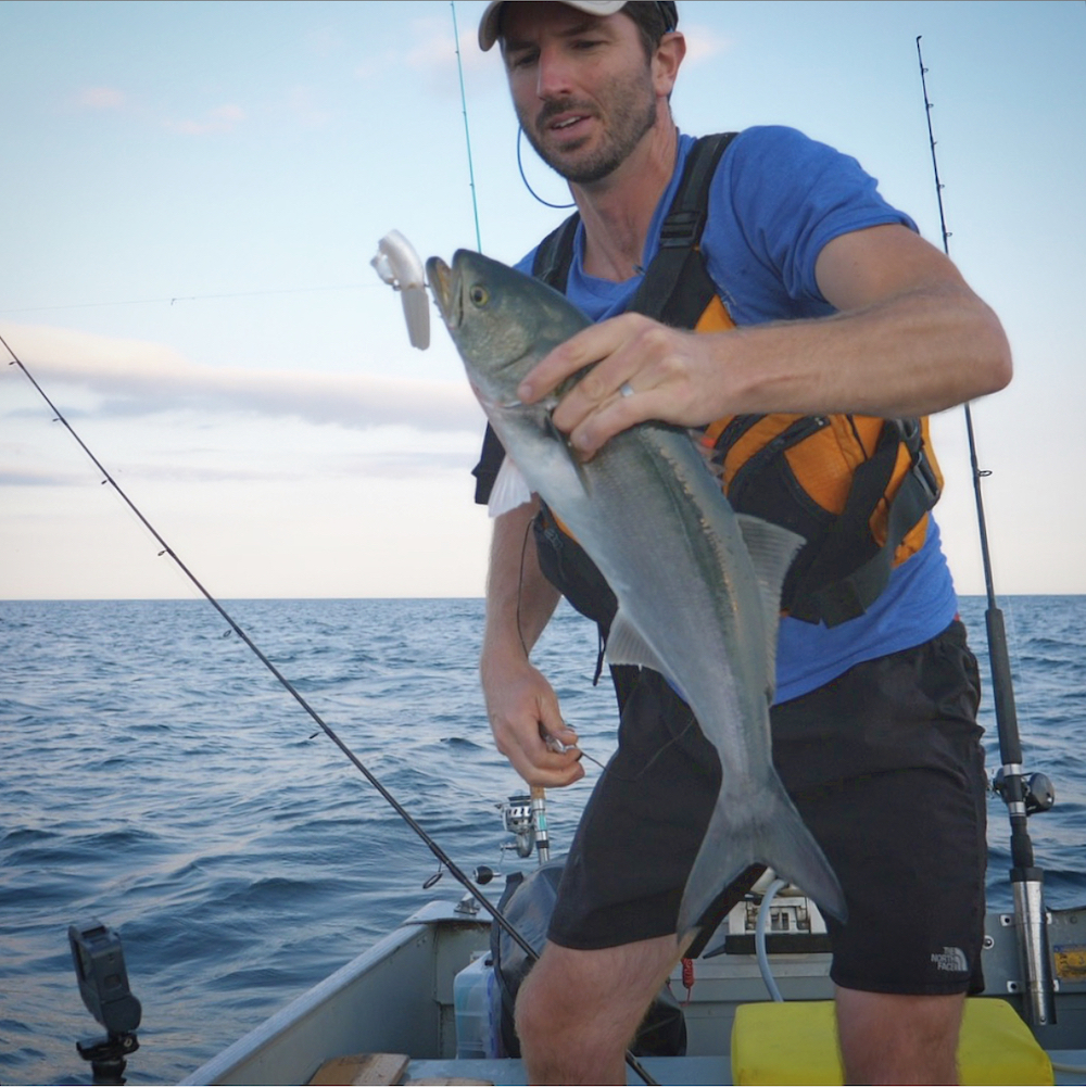 bluefish caught in cape cod bay