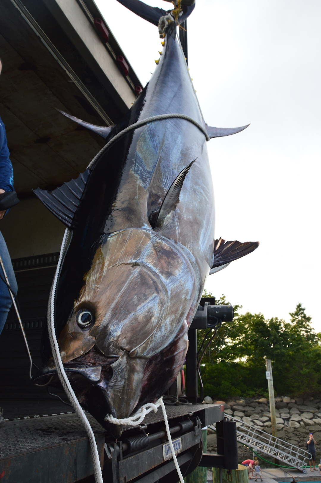 worlds biggest giant bluefin tuna www