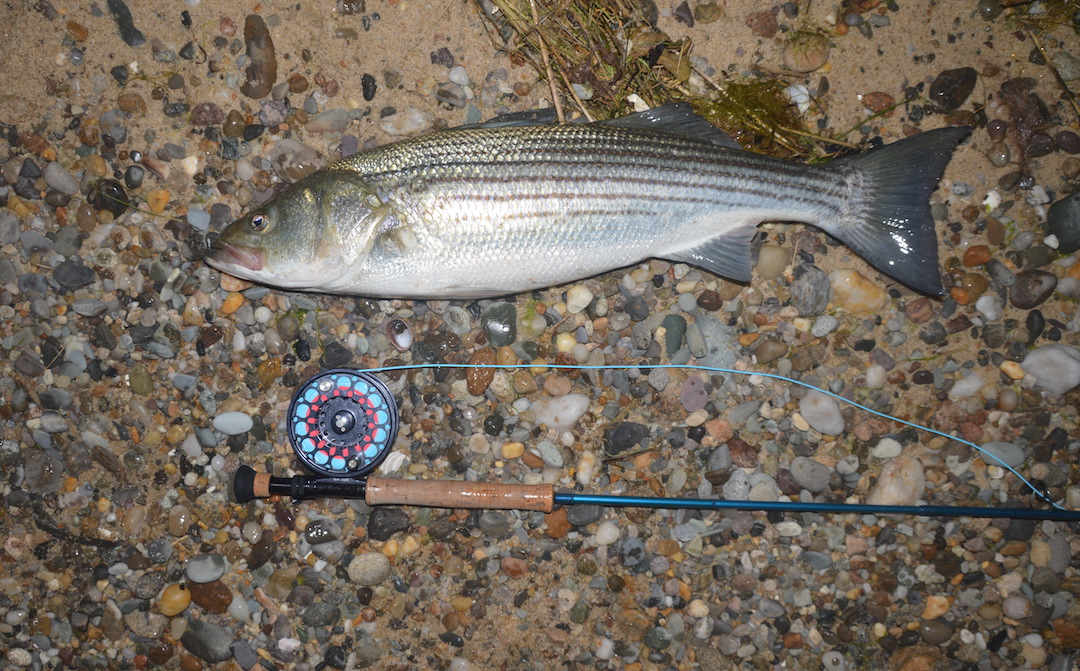 Fly fishing the surf to live lining macks to 40lb bass for Goose hummock fishing report