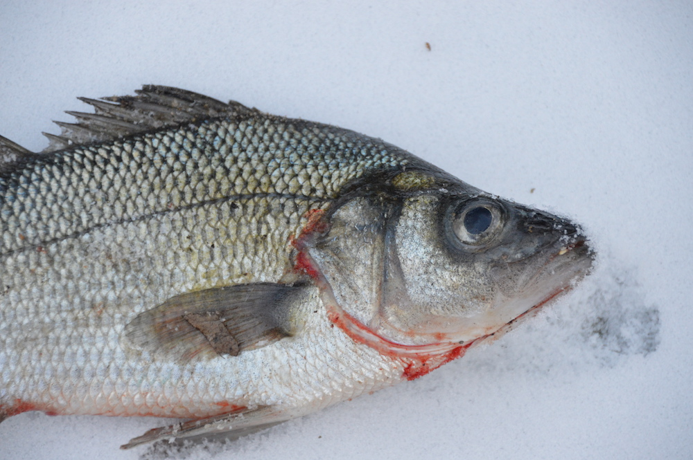 Ice fishing on cape cod january fishing report for White perch fish